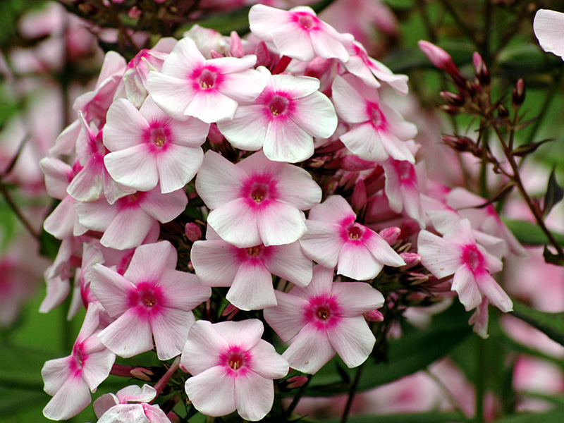 Phlox Flammenblume Galerie Bilder Fotos Pflege Hobbygarten Com